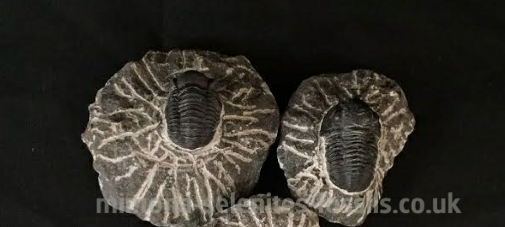 Mimona Selenites Fossils - Products for Sale