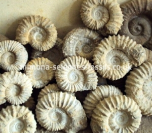 Ammonite Product For Sale