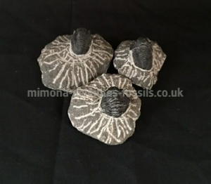 Trilobite Product for Sale